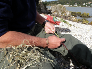 The author extracting bramble fibres using a mussel shell.